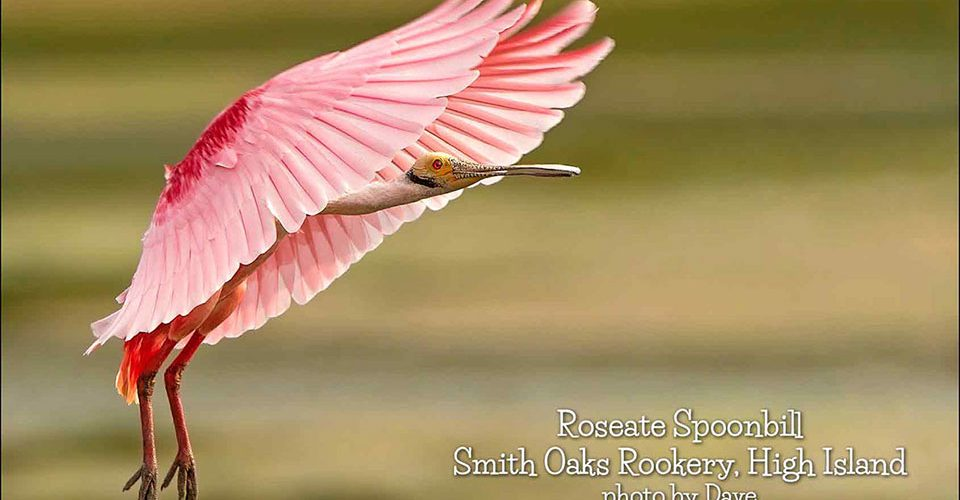 Roseate Spoonbill at Smith Oaks Rookery by Dave