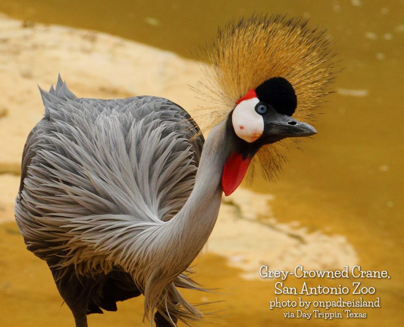 Grey-Crowned Crane by onpadreisland